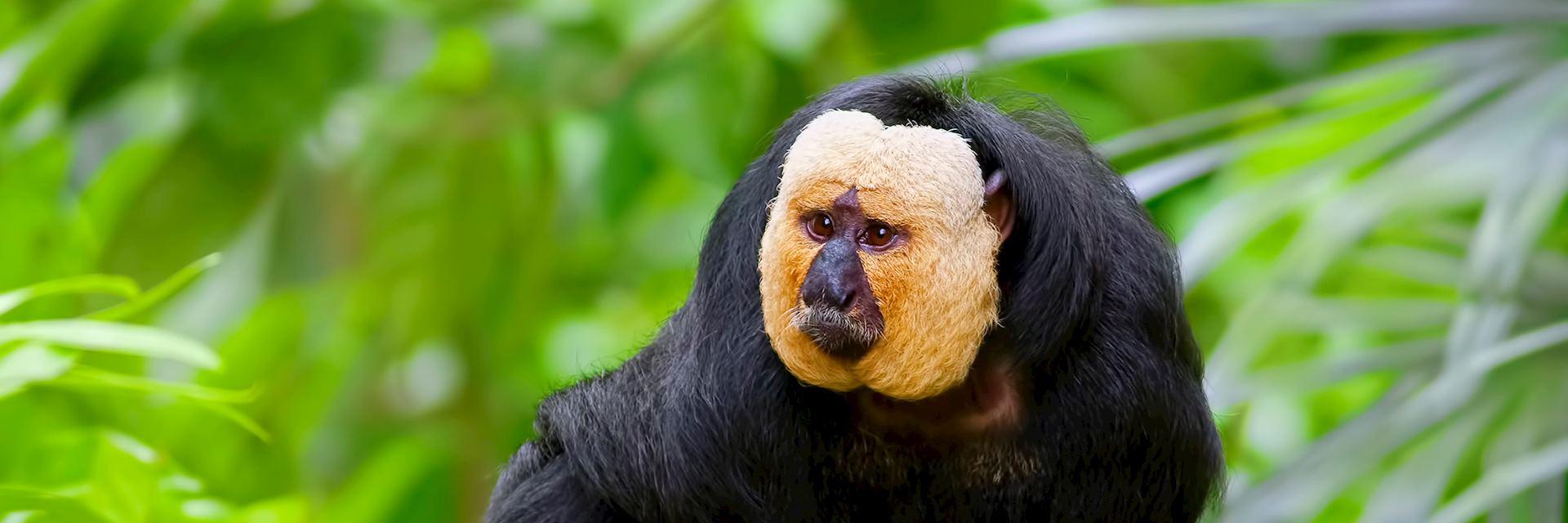 Saki monkey, Guyana