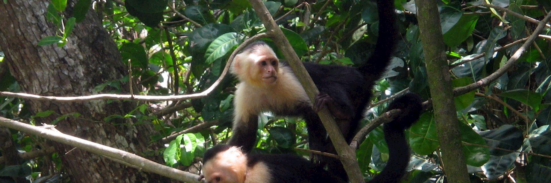 White faced monkeys, Iwokrama Forest, Guyana