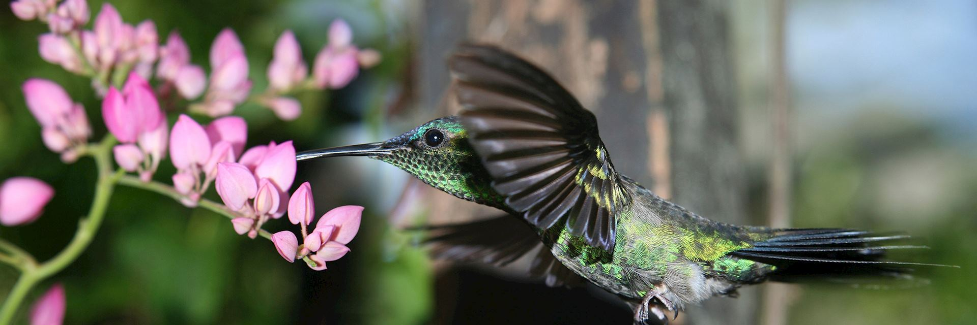 Hummingbird in flight, Paraguay