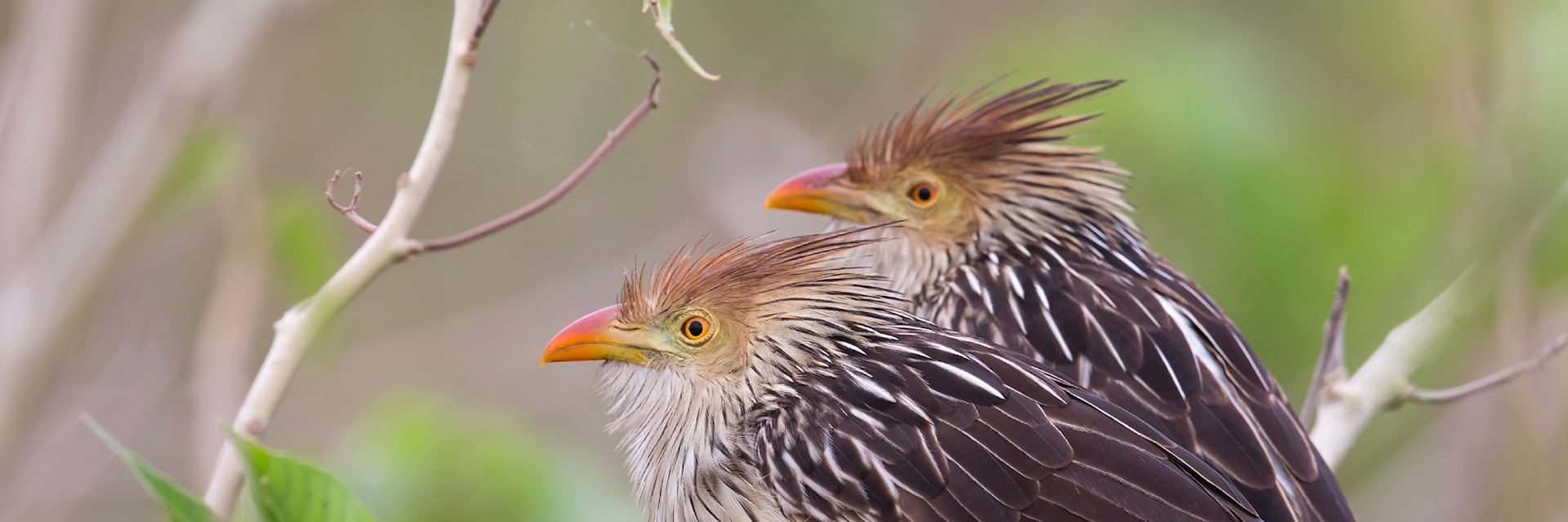 Guira cuckoos, Paraguay