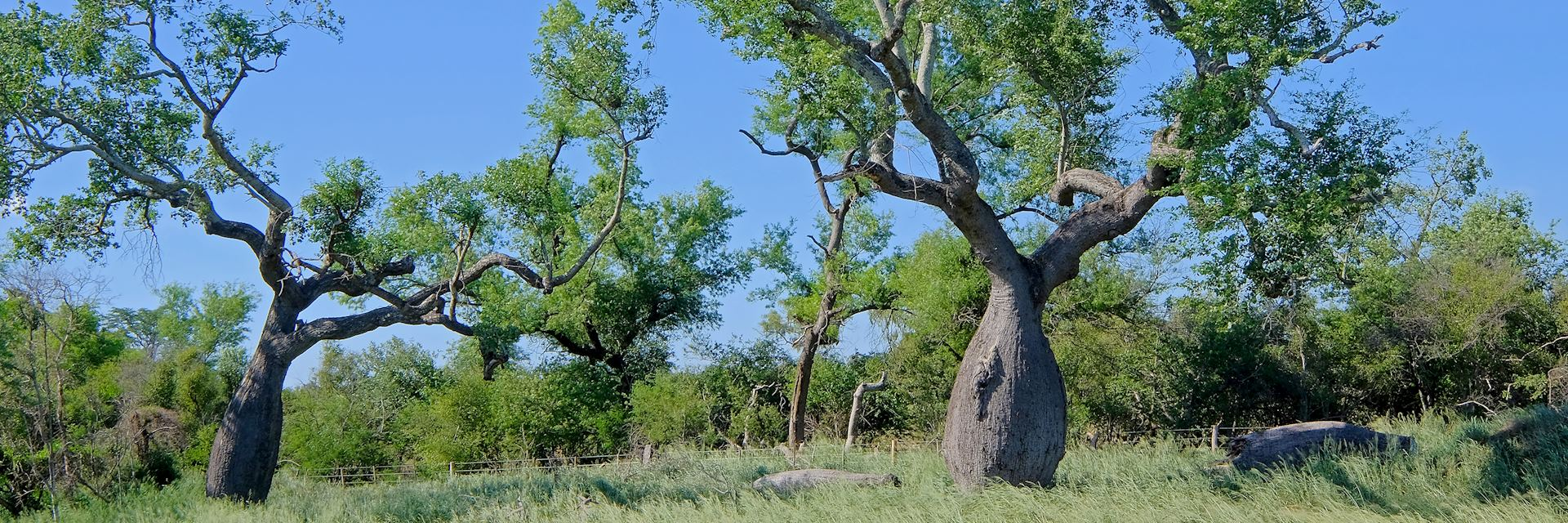 Ceiba trees in the Chaco, Paraguay