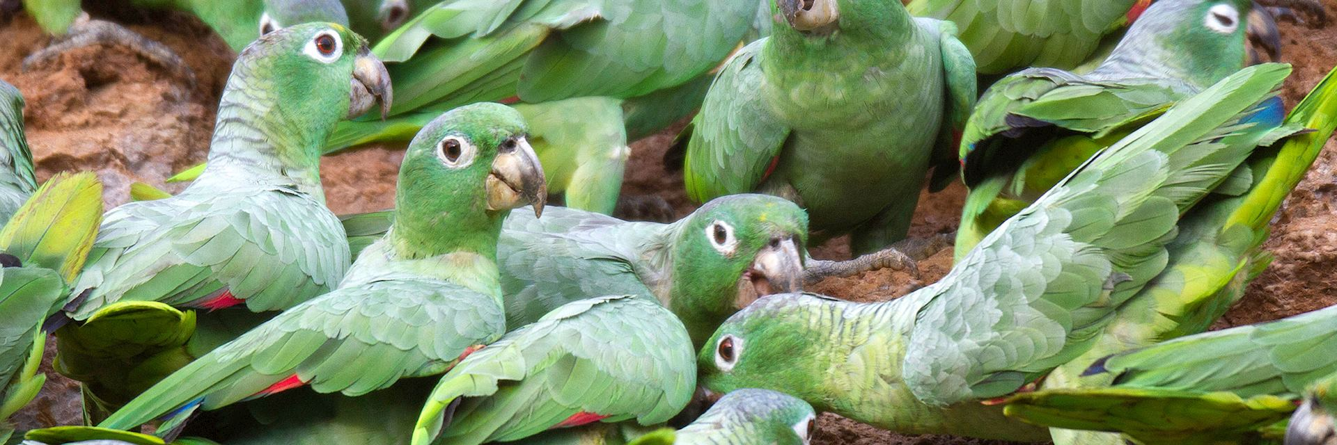 Mealy parrots at a clay lick in Tambopta