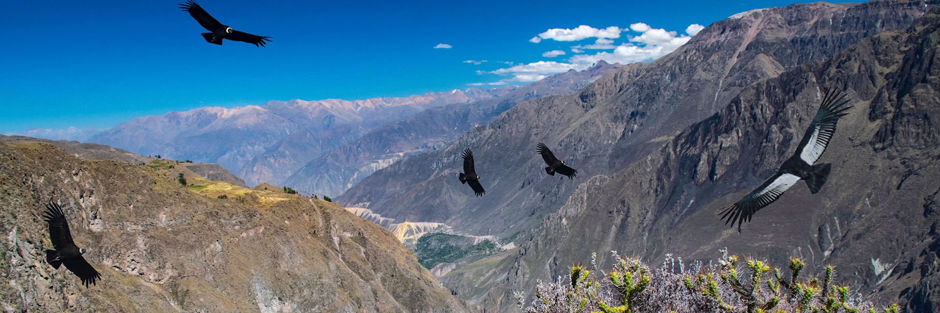 Condors flying above Colca Canyon