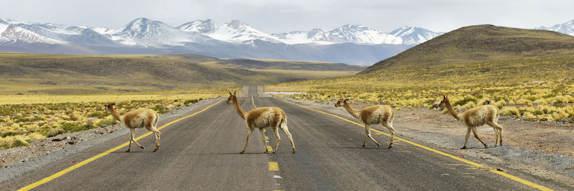 Vicunas in the meadows of the Atacama region