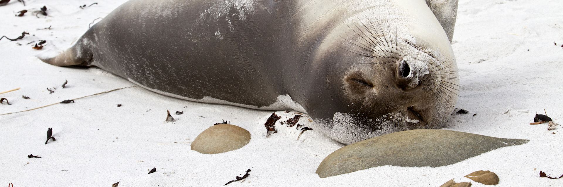 Young elephant seal relaxing, Falkland Islands