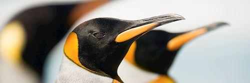 King pengins, Falkland Islands