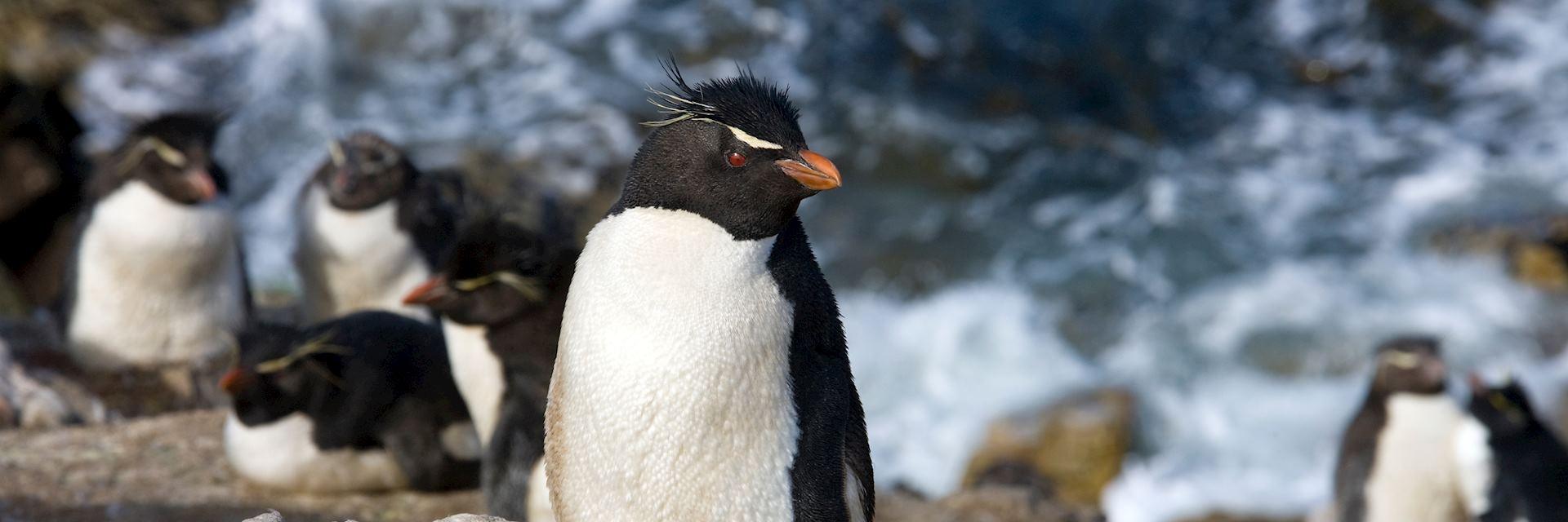 Rockhopper penguins, Pebble Island