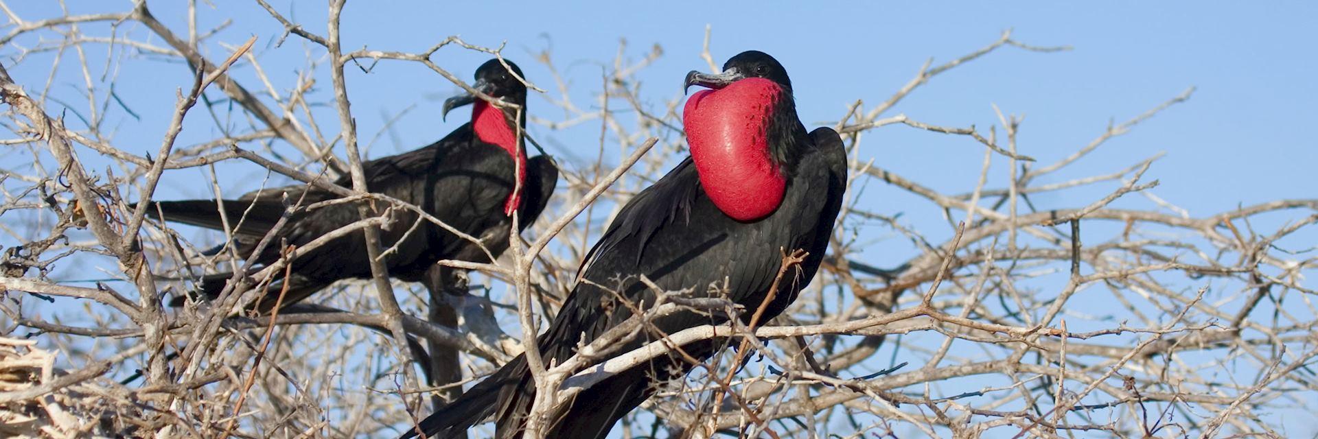 Frigate birds, The Galapagos Islands