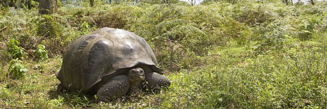 Wild giant tortoises of the Galapagos can weigh over 400 kg (880 lb)
