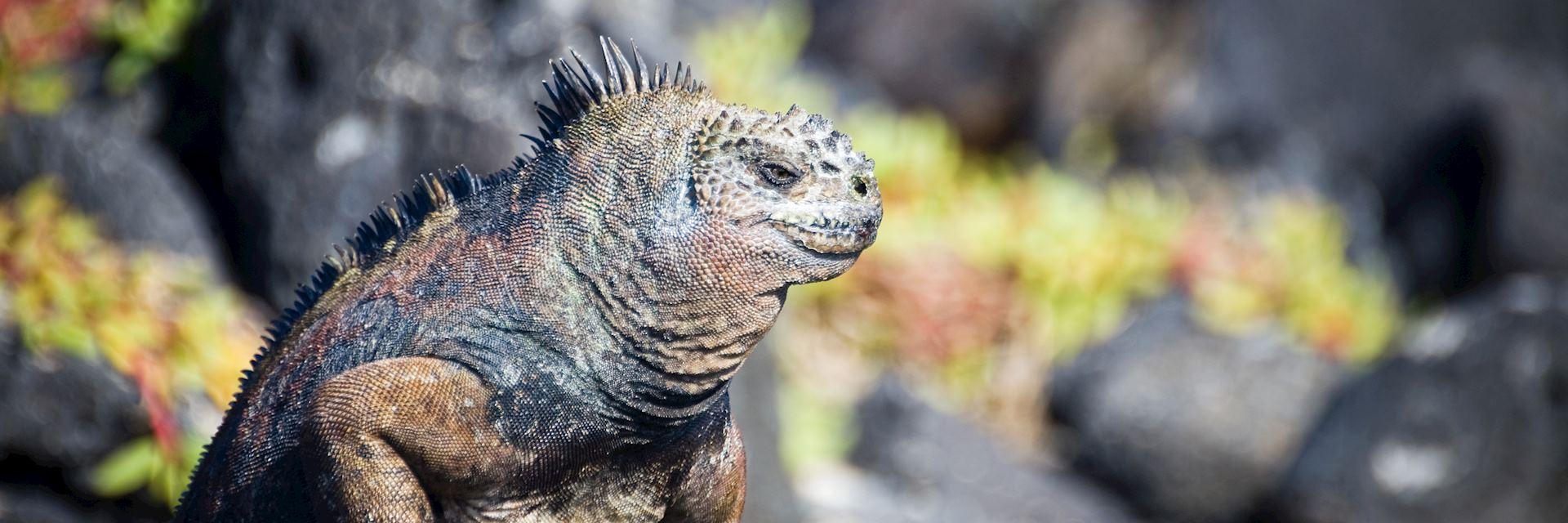 The diet of marine iguanas is underwater algae and seaweed