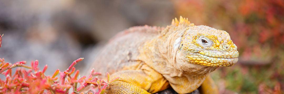 Land iguana, the Galapagos Islands