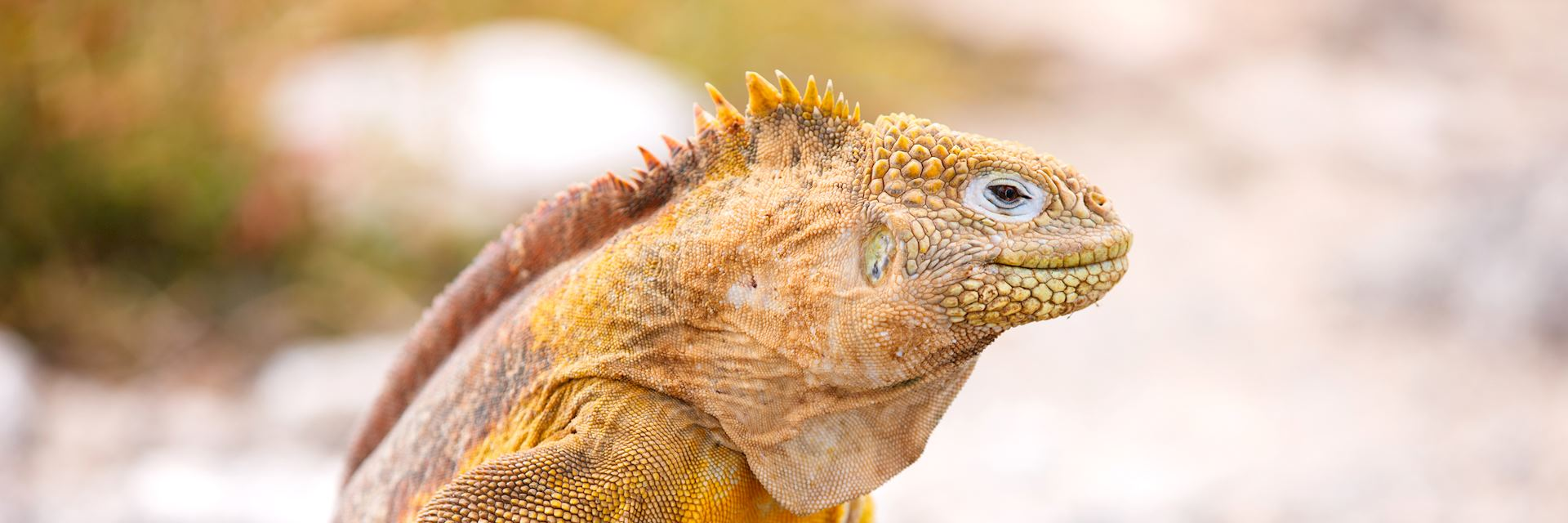 Land iguana, Galapagos Islands