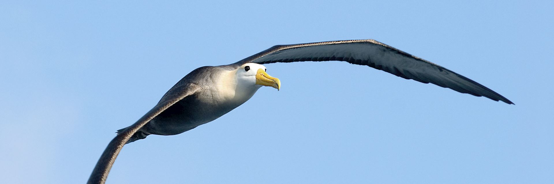 Albatros, the Galapagos islands