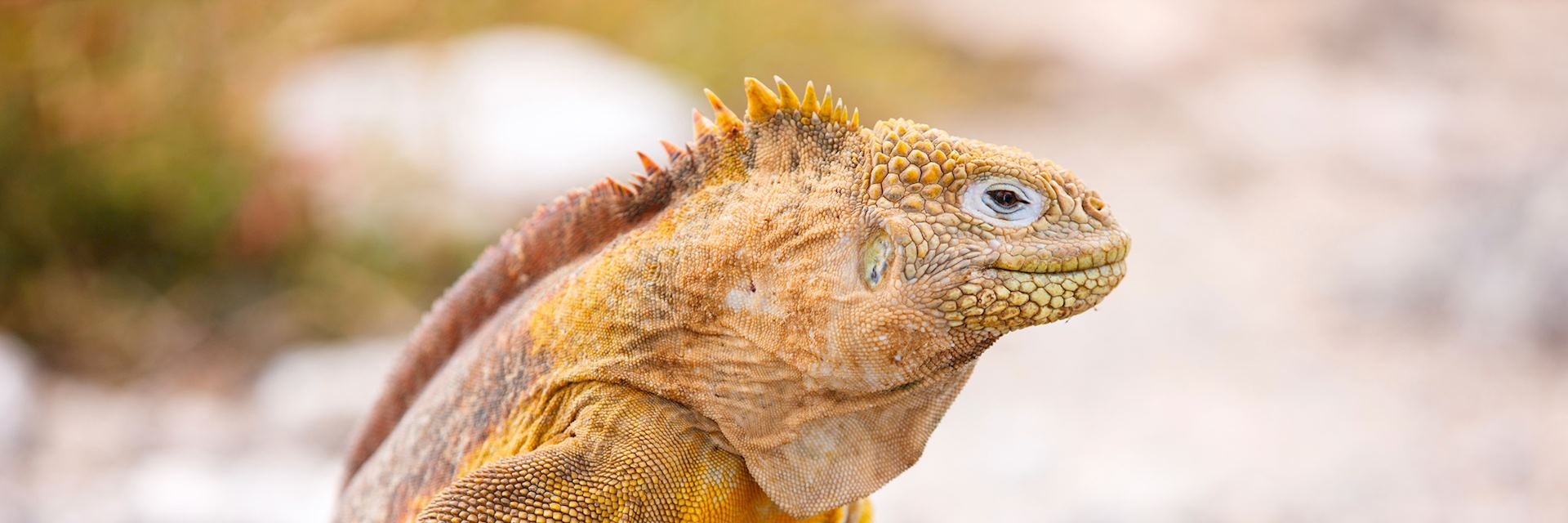 Land iguana, the Galapagos Islands