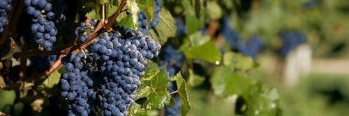 Vineyard near Carmelo