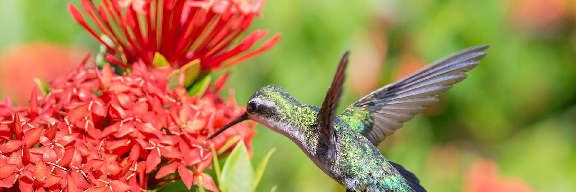 Blue-tailed emerald hummingbird, Venezuela