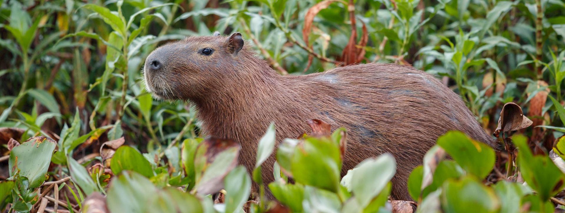 Capybara, Llanos region