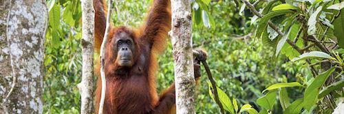 Female orangutan at Semenggok