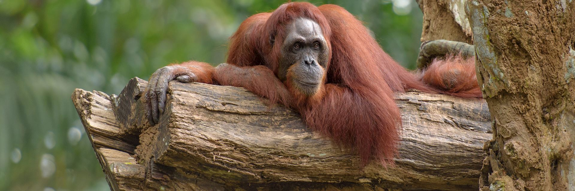 Male orangutan in the Tabin Wildlife Reserve