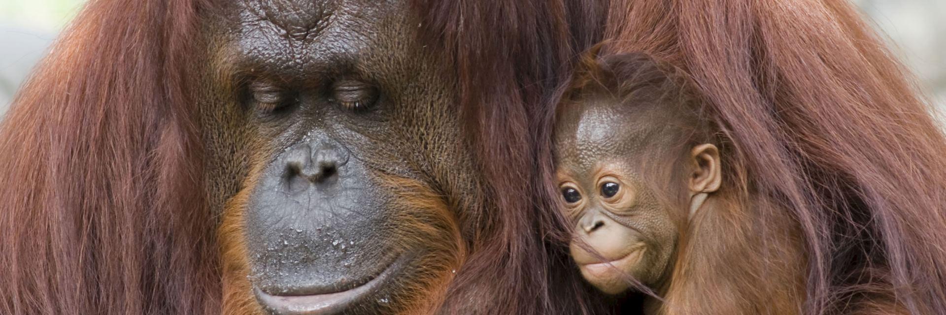 Female orangutan and infant