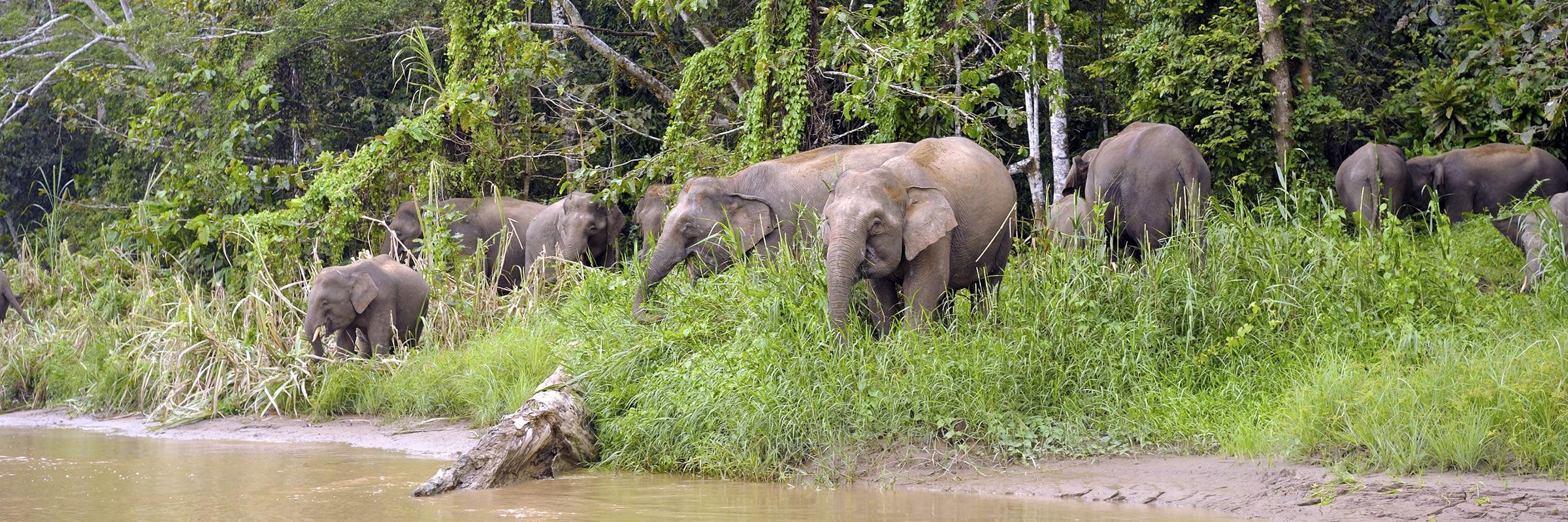 Pygmy elephants in Tabin Wildlife Reserve