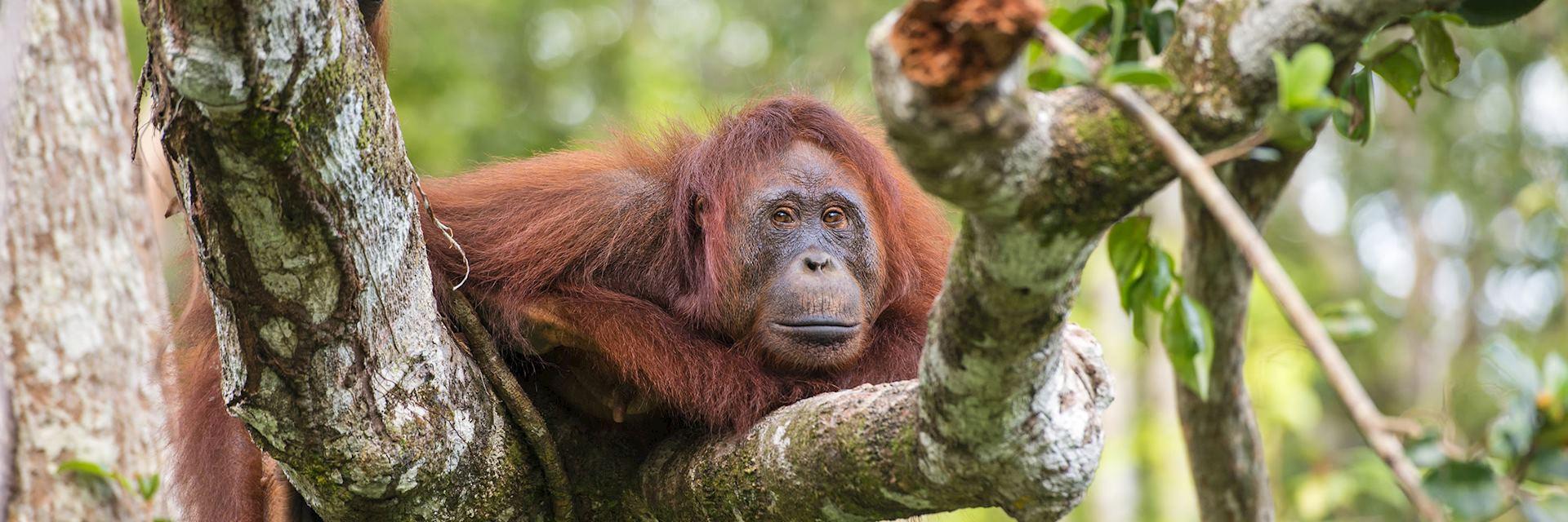 Female orangutan in the Danum Valley