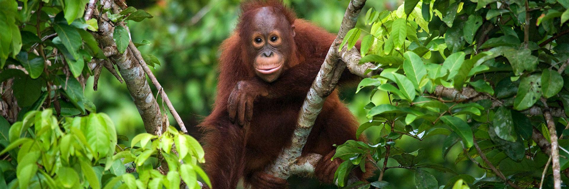 A baby orangutan in the wild