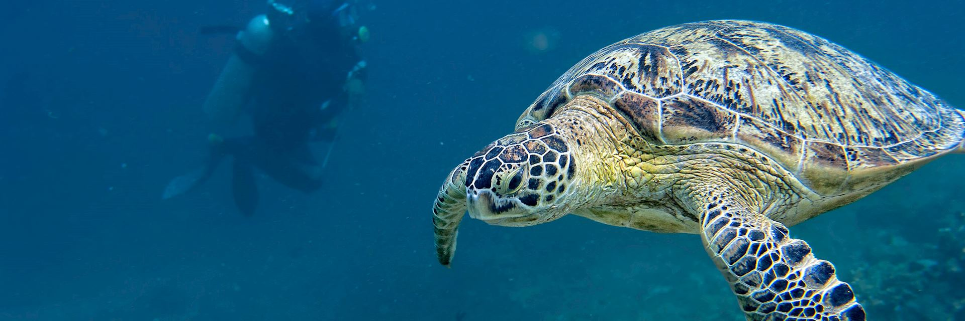 Turtle swimming off the coast of Borneo