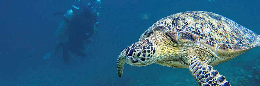 Turtle swimming off the coast of Borneo