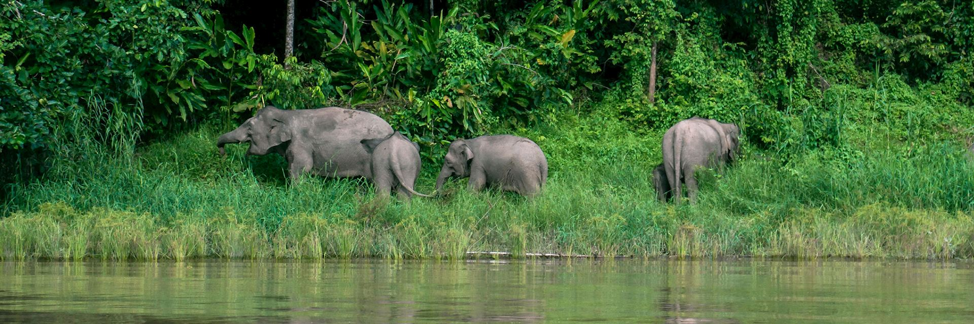 Elephants grazing at the Kinabatangan Wildlife Sanctuary