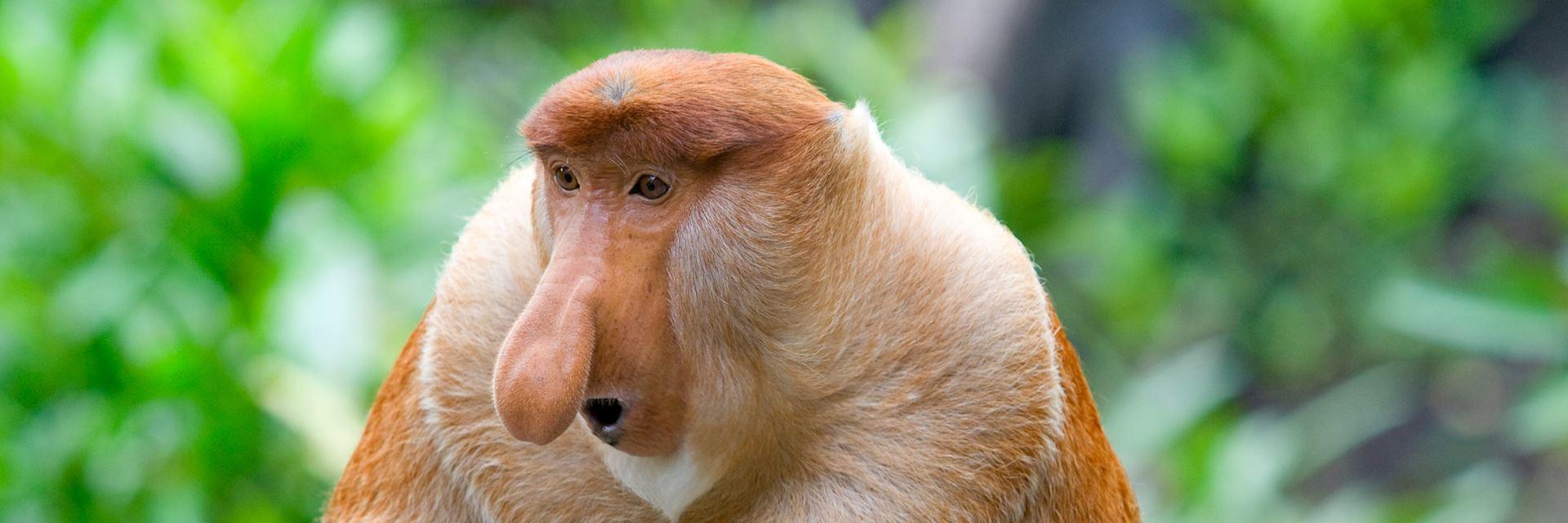 Proboscis monkey in the Garama Wetlands