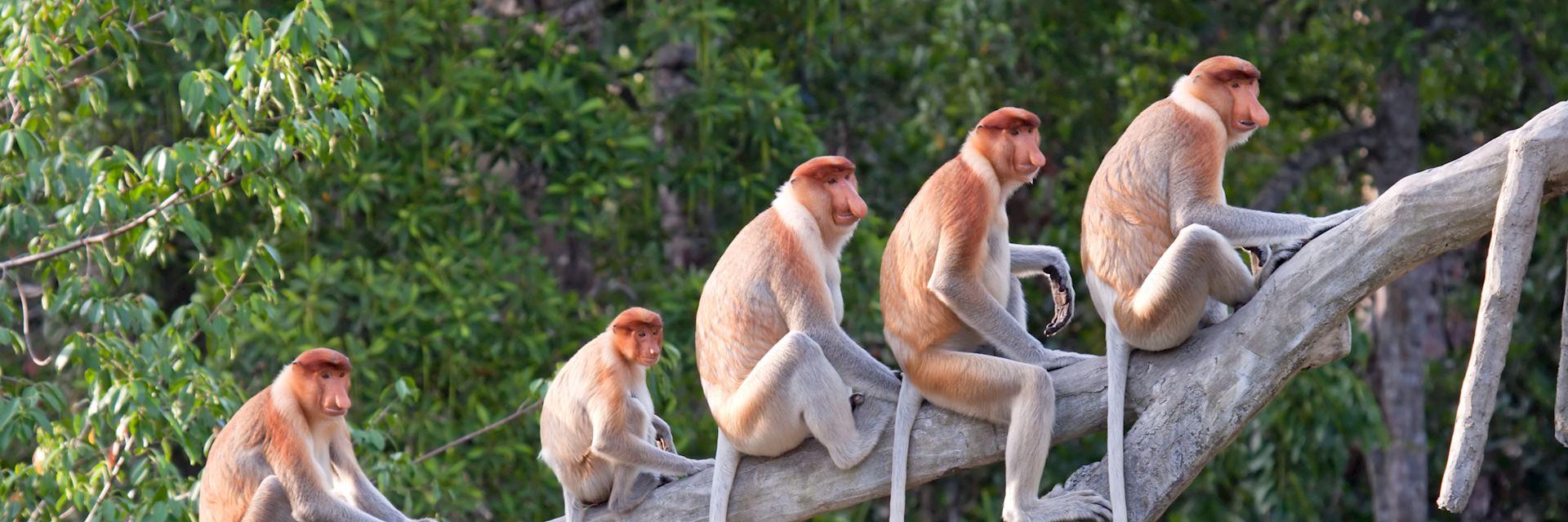 Proboscis monkeys, Kota Kinabalu