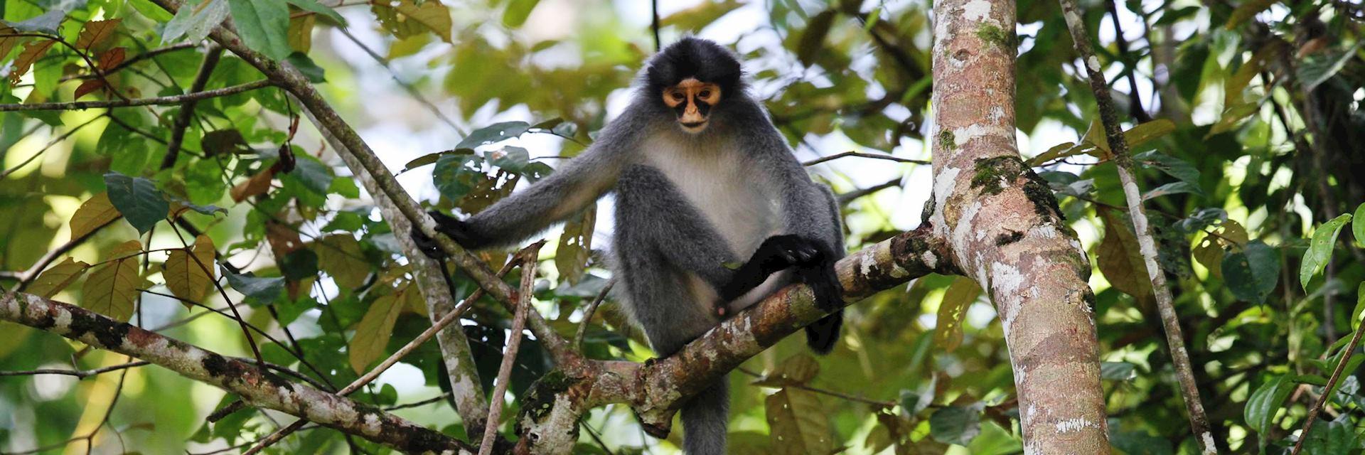 Gibbon, Malaysian Borneo