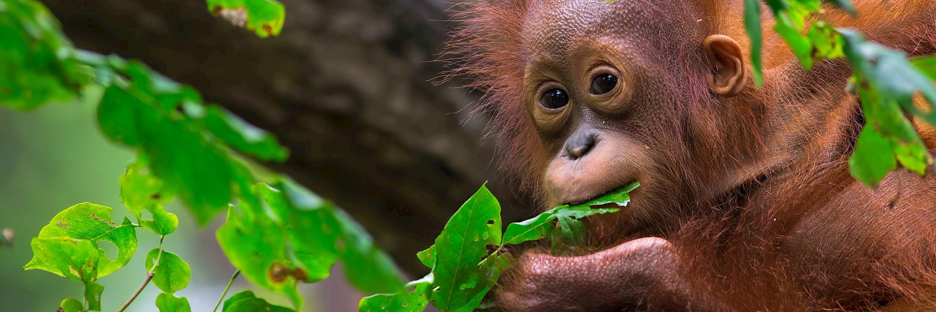 Baby orangutan in Sepilok