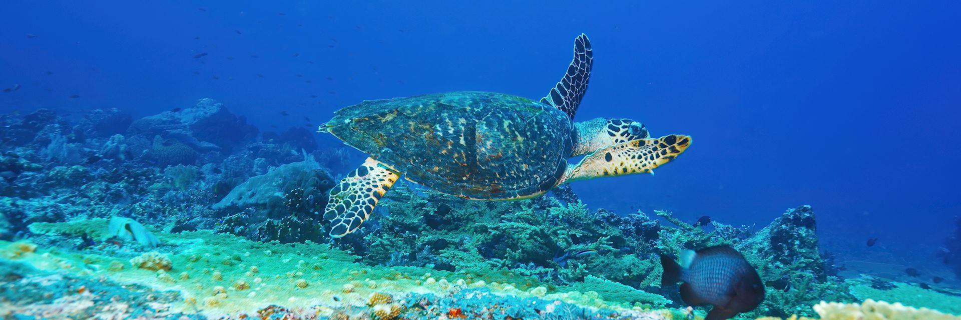 Green turtle, Bali