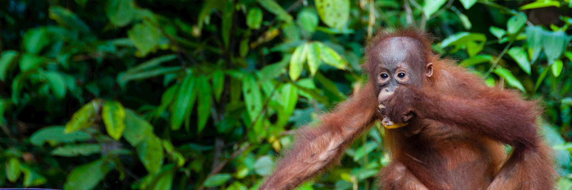 Young orangutan, Sumatra, Indonesia