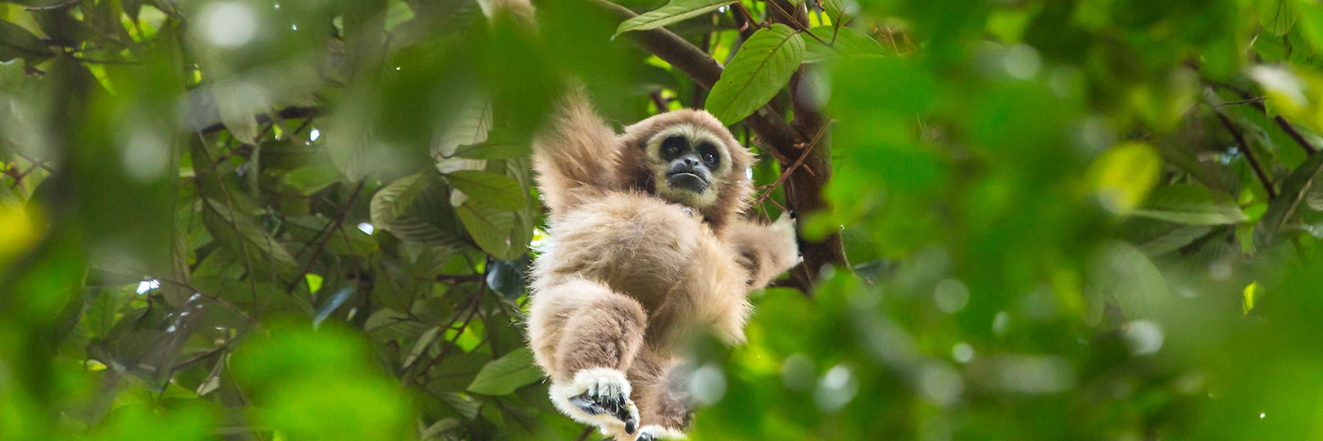 Gibbon, Gunung Leuser National Park