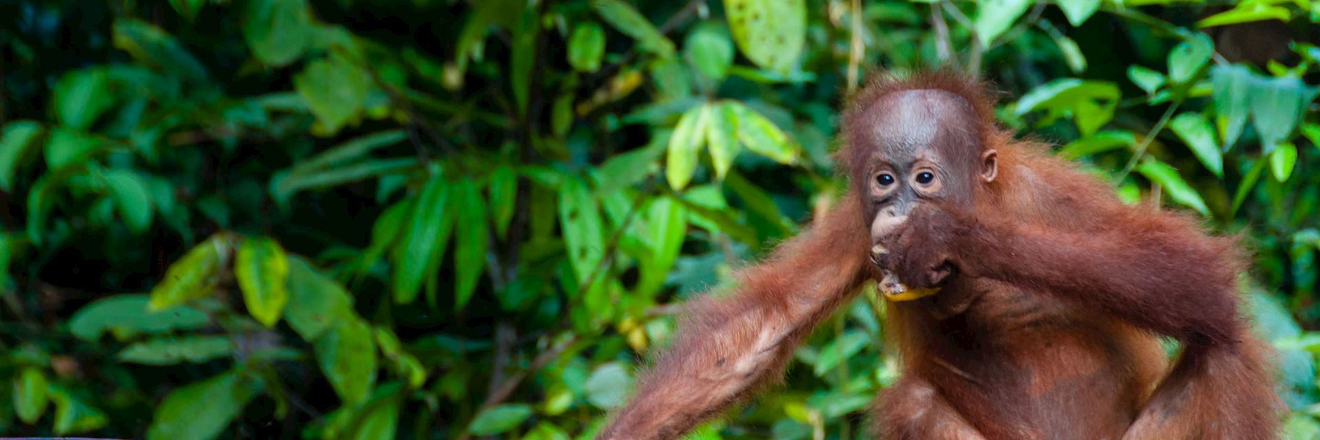 Young orangutan, Indonesia
