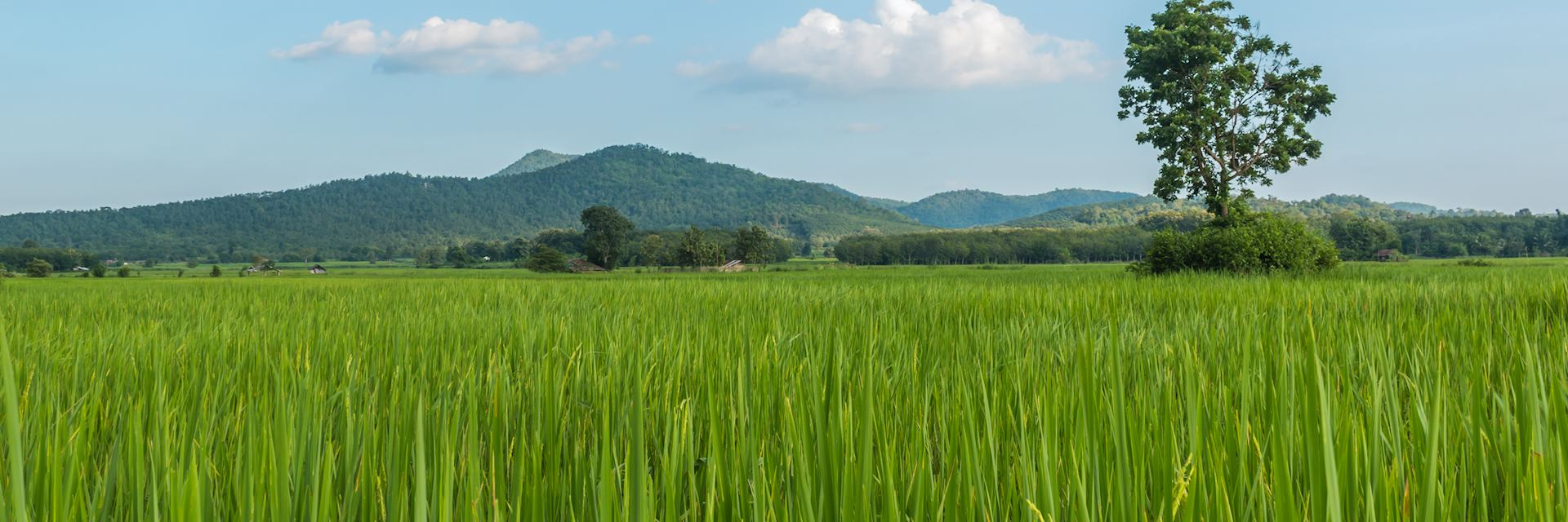 Paddy field in Loei Province