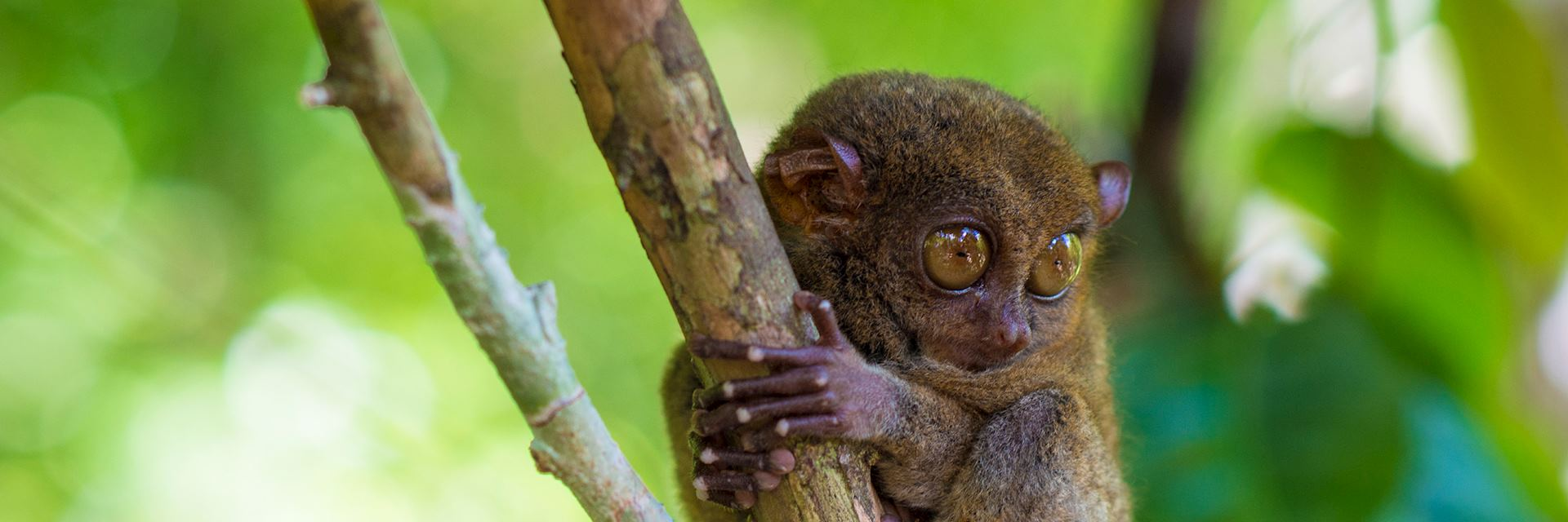 Tarsier, the Philippines