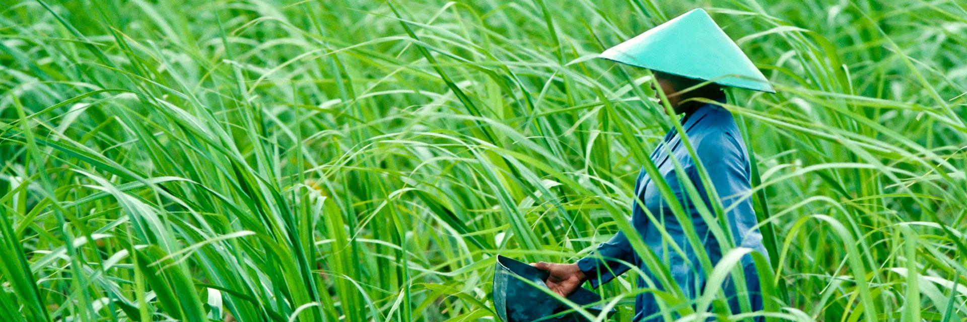 Fertilising a rice field in Vietnam