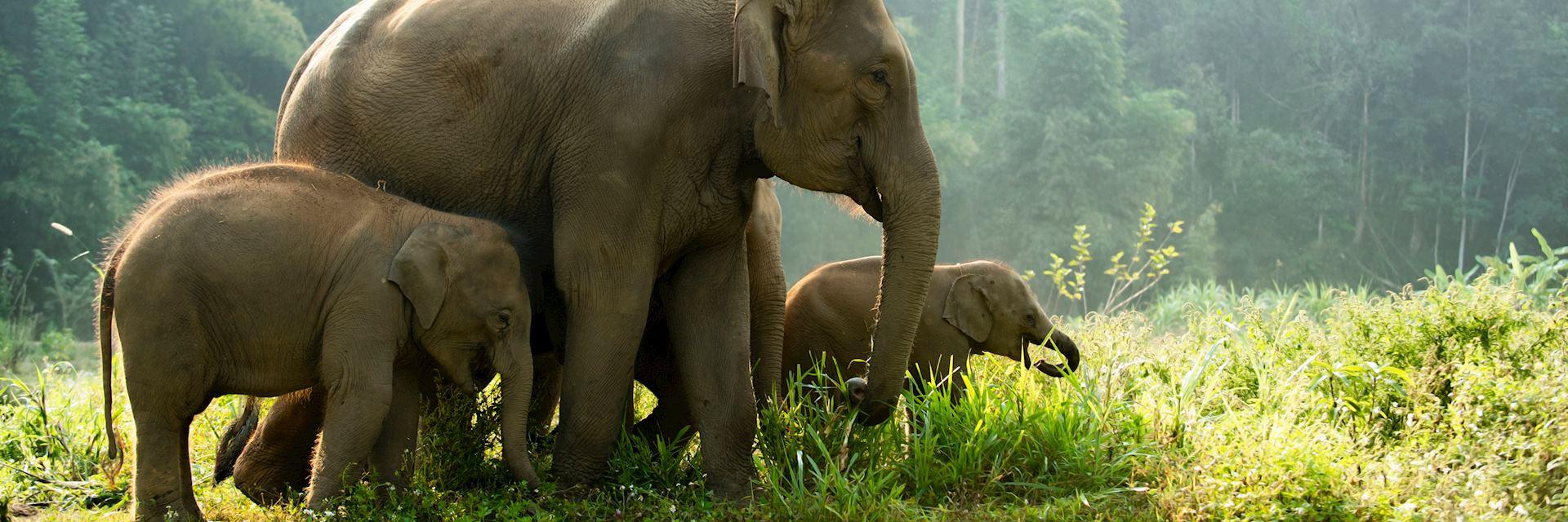 Wild elephant in Vietnam