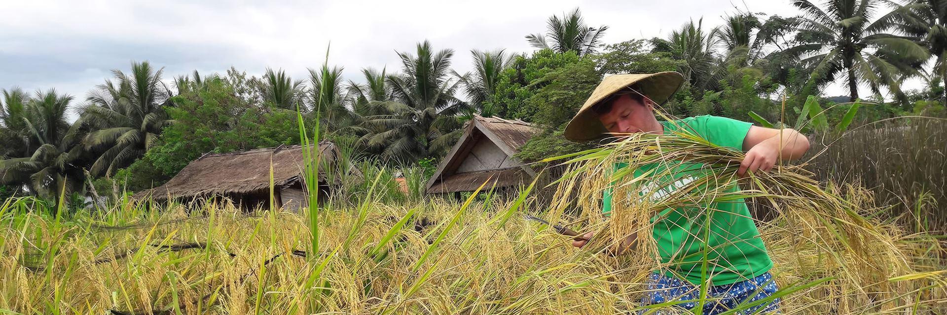 Ross harvesting rice, Vietnam