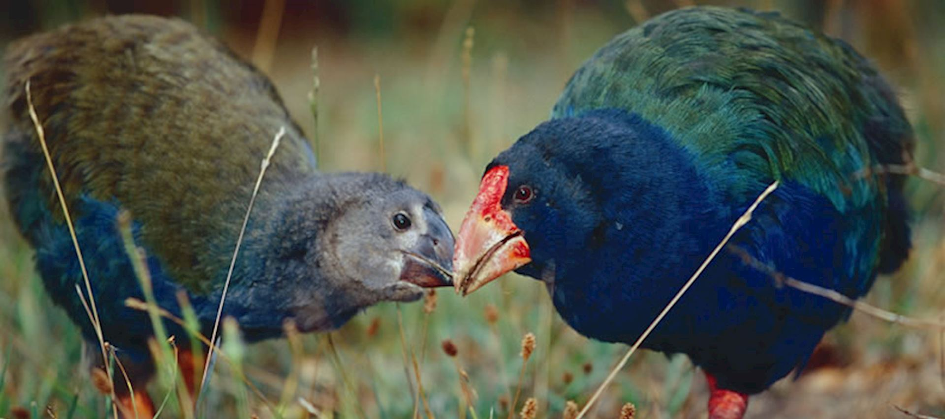 Takahe are one of many endangered species in New Zealand